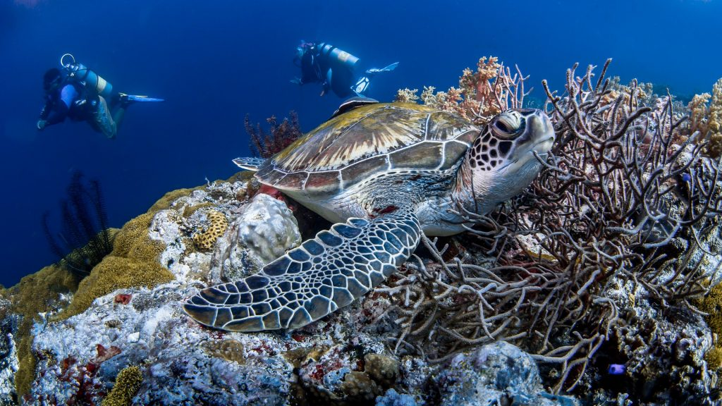 Turtle on a coral reef with two scuba divers in the background.