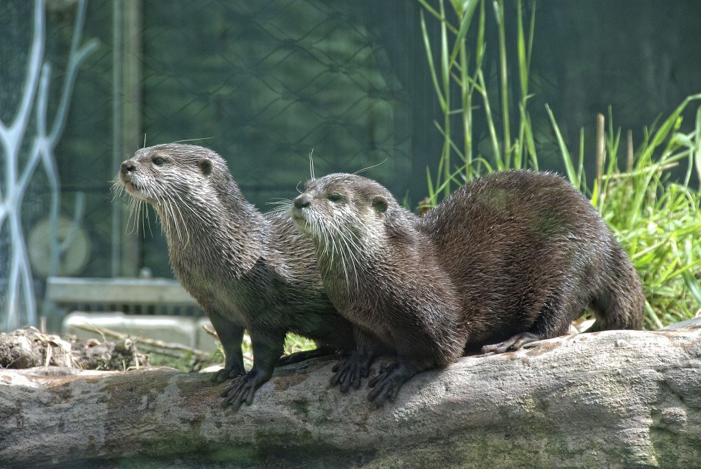 Two otters sitting on a log.