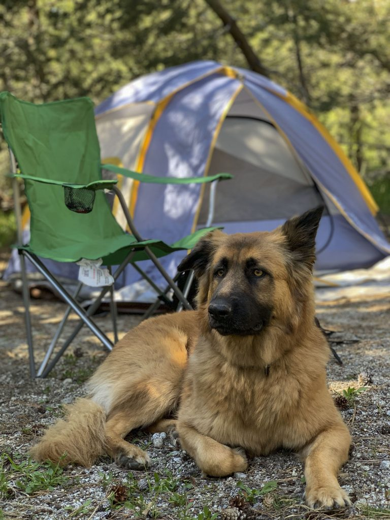 A tent in the forest with a camping chair in front of it and a dog lying down.